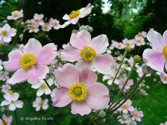 Anemone hupehensis   © Mag. Angelika Ficenc