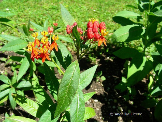 Asclepias curassavica - Indianer Seidenpflanze  © Mag. Angelika Ficenc
