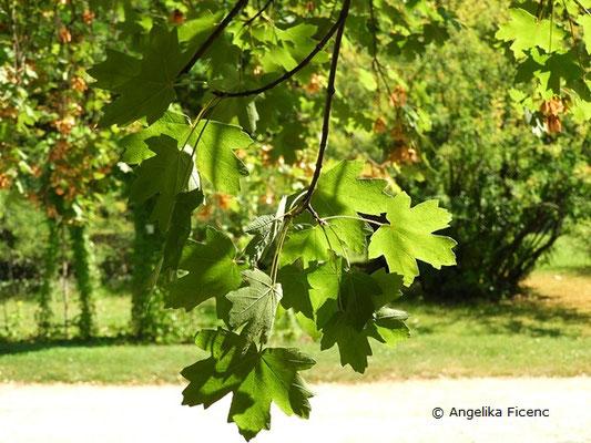 Acer hyrcanum - Balkan Ahorn, Laubblätter