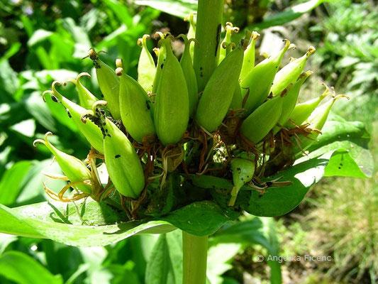 Gentiana lutea - Gelber Enzian, Früchte