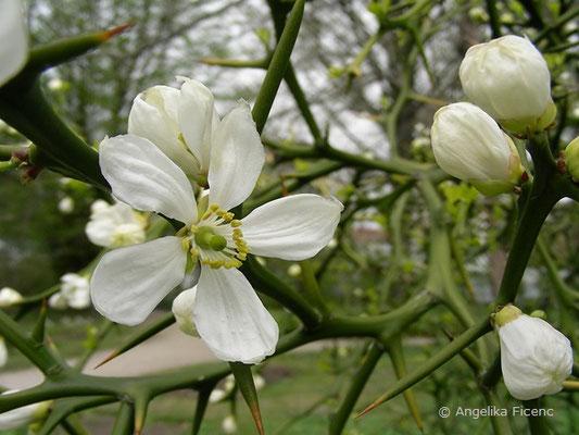 Poncirus trifoliata - Bitterorange, Blüte  © Mag. Angelika Ficenc