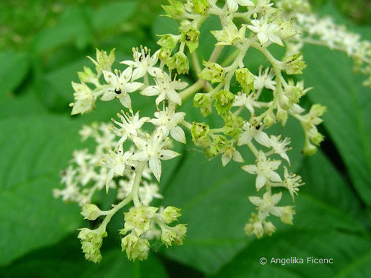 Rodgersia aesculifolia - Kastanienblättriges Schaublatt  © Mag. Angelika Ficenc