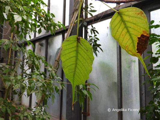Ficus religiosa   © Mag. Angelika Ficenc