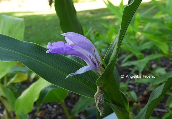 Hedychium gardnerianum © Mag. Angelika Ficenc