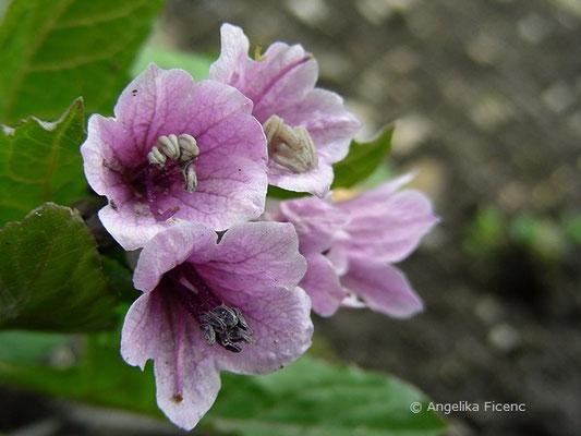 Physochlaina orientalis