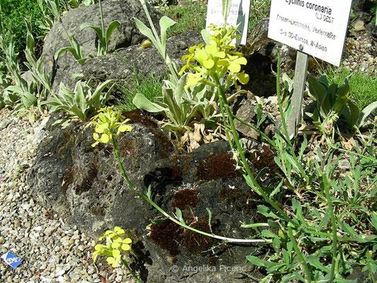 Erysium pulchellum - Hübscher Schöterich, Habitus