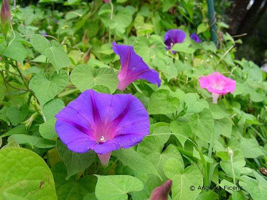 Ipomea caerulea - Blaue Sternwinde