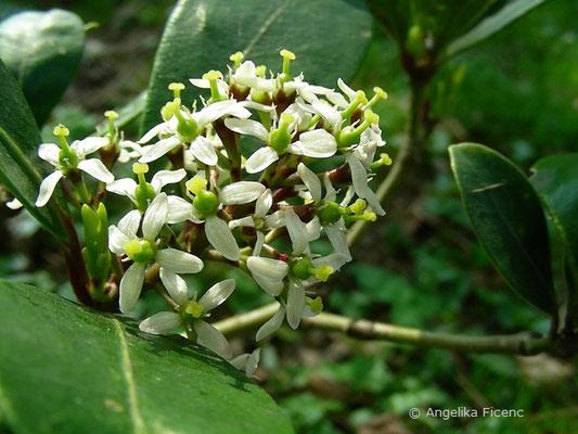 Skimmia japonica - Skimmie  © Mag. Angelika Ficenc