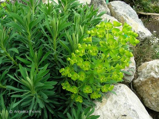 Euphorbia caracias ssp. wulfenii - Wolfsmilch, Habitus