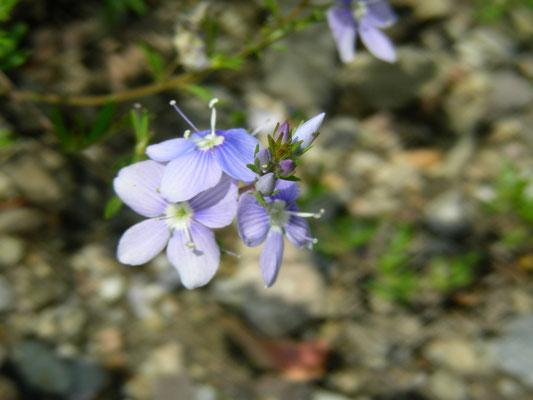 Veronica multifida - Lanzettblättriger Ehrenpreis, Blüten