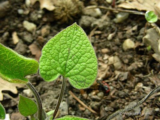 Brunnera macrophylla - Kaukasusvergissmeinnicht,   © Mag. Angelika Ficenc