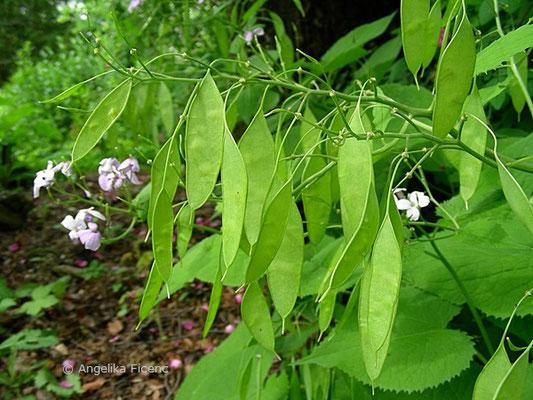 Lunaria redivia - Ausdauerndes Silberblatt, unreife Schötchen