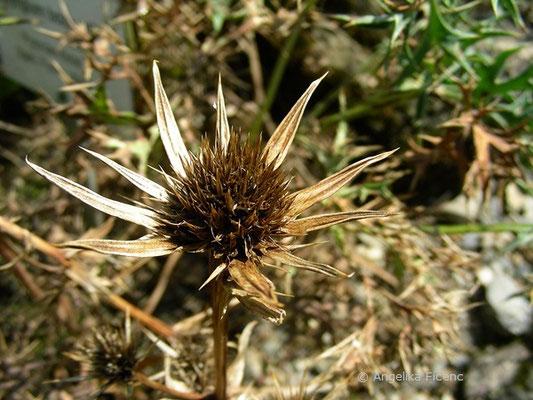 Eryngium bourgatii - Pyrenäendistel, Samenstand