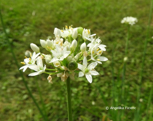 Allium ramosum   © Mag. Angelika Ficenc