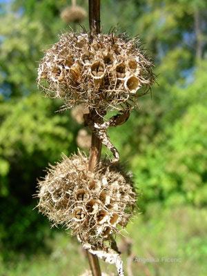 Phlomis tuberosa - Knollen Brandkraut  © Mag. Angelika Ficenc