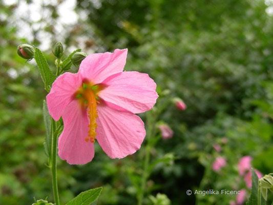 Kosteletzkya pentacarpus, Blüte