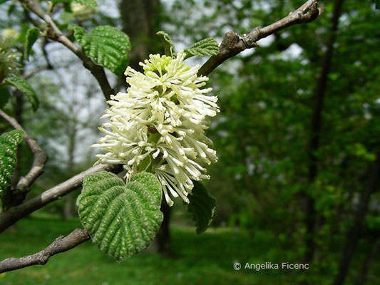 Fothergilla major - Großer Federbuschbaum