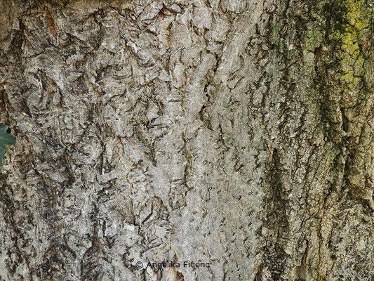 Phellodendron amurense x japonicum - Korkbaum, Borke