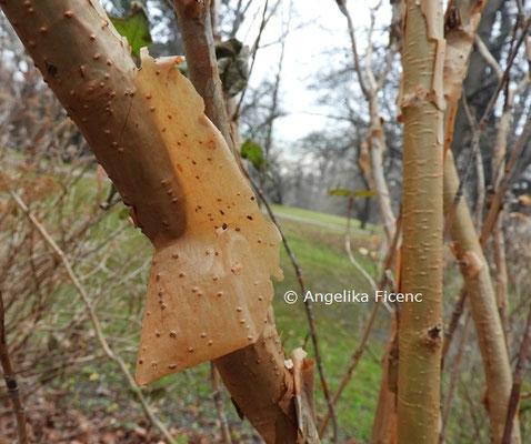 Hydrangea quercifolia © Mag. Angelika Ficenc