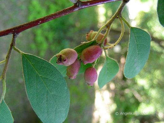 Cotoneaster heliophyllum - reifende Früchte  © Mag. Angelika Ficenc