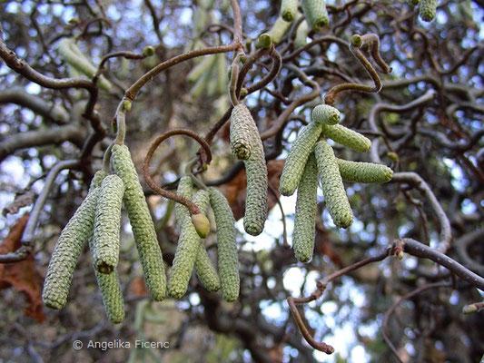 Corylus avellana forma Contorta - Korkenzieherhasel, männliche Blüten