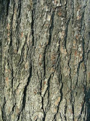Pinus strobus - Weymouths Kiefer, Stamm