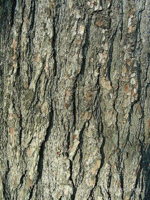 Pinus strobus   © Mag. Angelika Ficenc