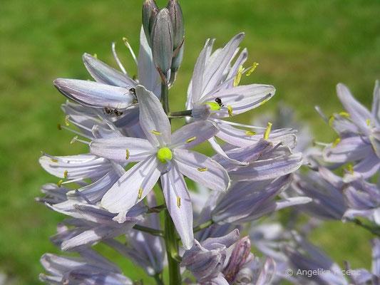 Camassia leichtlinii - Leichtlin Prärielilie    © Mag. Angelika Ficenc