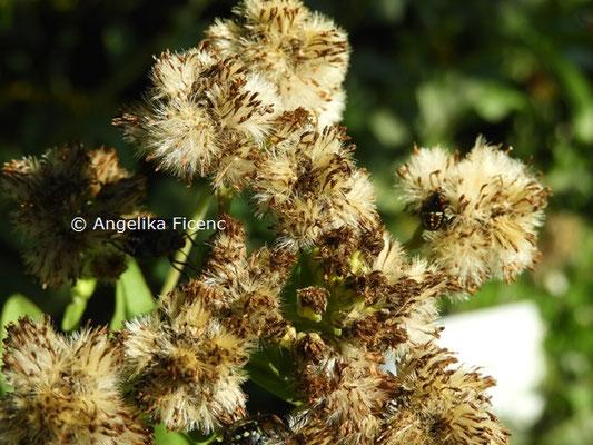 Solidago rigida subsp. humilis  © Mag. Angelika Ficenc