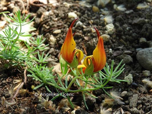 Lotus maculatus  © Mag. Angelika Ficenc
