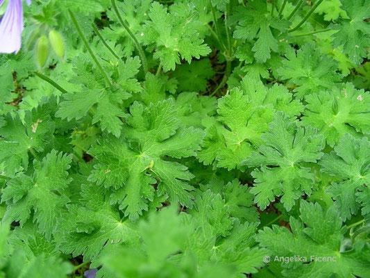 Geranium ibericum - Herzblatt Storchschnabel  © Mag. Angelika Ficenc