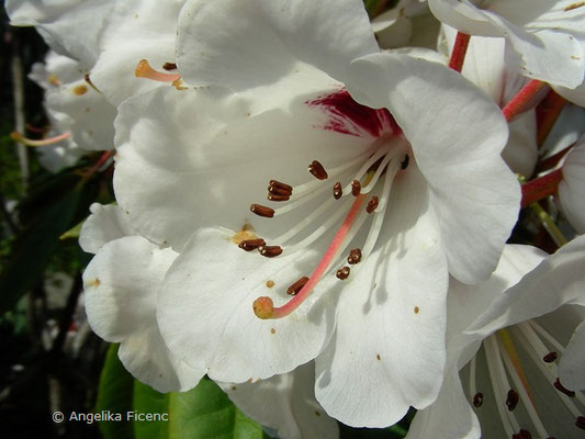 Rhododendron ramsdenianum  © Mag. Angelika Ficenc