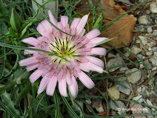 Scorzonera suberosa ssp. cariensis