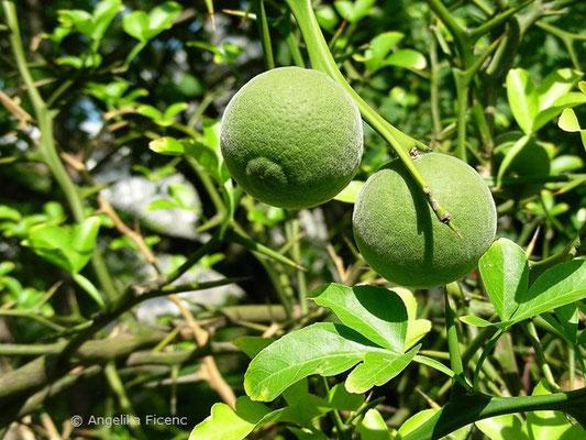 Poncirus trifoliata - Bitterorange, unreife Früchte