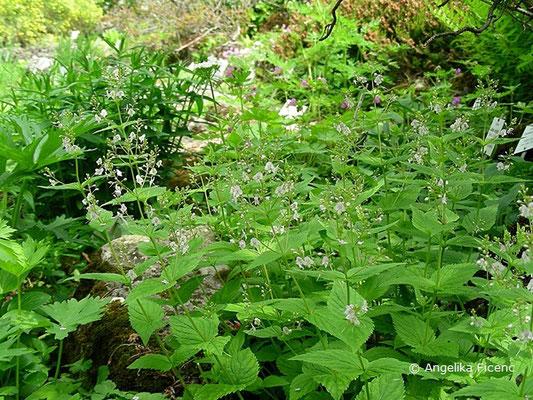 Veronica urticifolia  - Nessel-Ehrenpreis