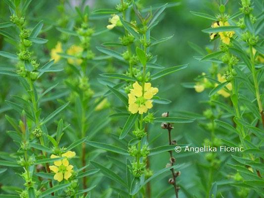 Heimia salicifolia  © Mag. Angelika Ficenc