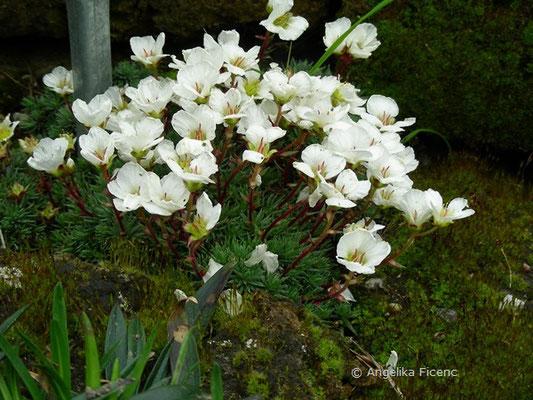 Saxifraga burseriana - Burses Steinbrech