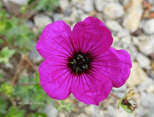 Geranium subcaulescens var., Einzelblüte