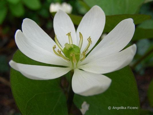 Jeffersonia diphylla -  Zwillingsblatt  © Mag. Angelika Ficenc