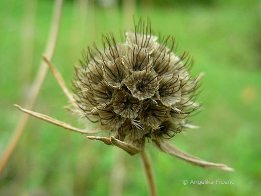Lomelosia caucasica - Kaukasus Grasskabiose, Samenstand reif
