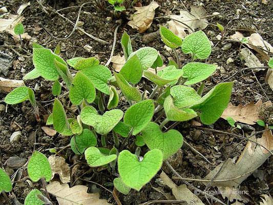 Brunnera macrophylla - Kaukasusvergissmeinnicht, Laubblätter