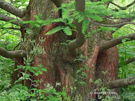 Metasequoia glyptostroboides - Chinesisches Rotholz, Stamm