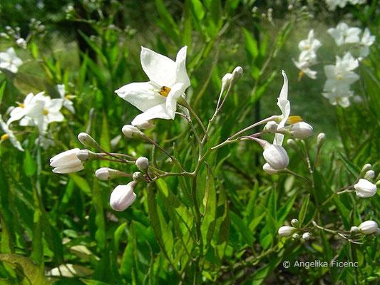 Solanum jasminoides -  Jasmin-Nachtschatten