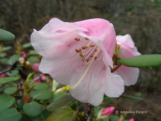 Rhododendron vermicosum