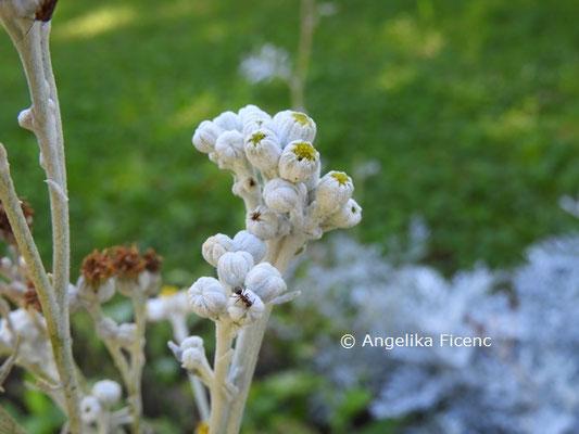 Senecio cineraria  © Mag. Angelika Ficenc