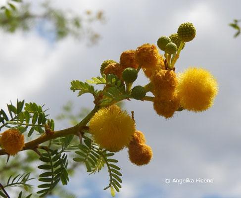 Acacia karroo © Mag. Angelika Ficenc