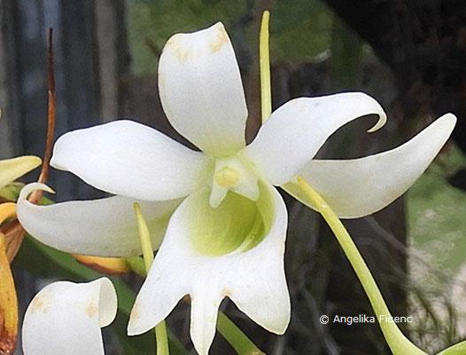 Sobennikoffia robusta  © Mag. Angelika Ficenc