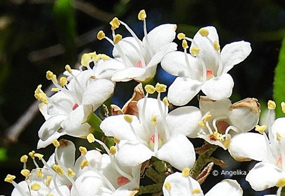 Viburnum utile - Nützlicher Schneeball, Blütenstand mit Einzelblüten