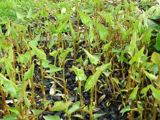 Saururus cernuus - Amerikanischer Molchschwanz, Blätter