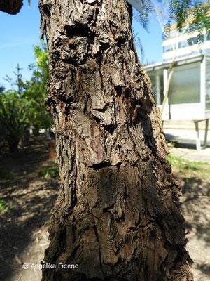 Schinus molle - Gewöhnlicher Pfefferbaum, Borke    © Mag. Angelika Ficenc